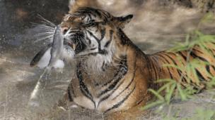 Tiger eats frozen fish at Phoenix Zoo, Arizona (28 June 2013)