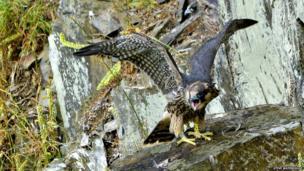 Peregrine chick at Plymbridge Woods