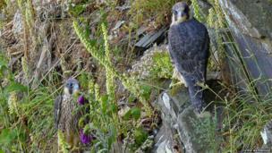 Male and female peregrine falcon chicks