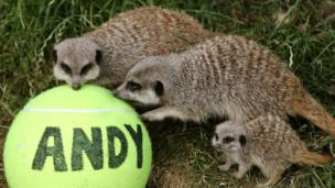 Meercats with tennis ball.