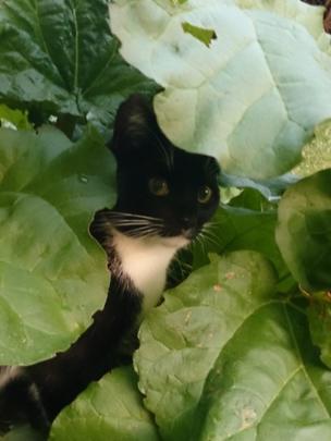 Cat in a rhubarb patch