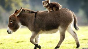 Micro miniature donkey gives a dog a ride
