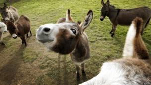 Micro miniature donkeys in a field