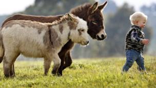Two micro miniature donkeys follow a boy