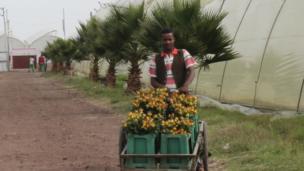Man pushes roses in wheelbarrow