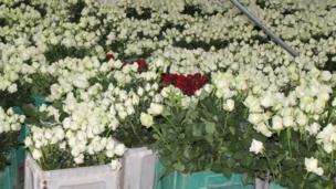 Roses in crates
