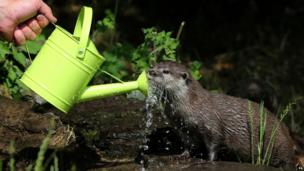 An Otter cools down in the hot weather