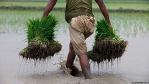 A farmer carries bundles of rice seedlings