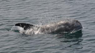 Risso's Dolphin near the Isle of Man