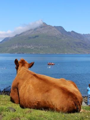 Cow on the Isle of Skye