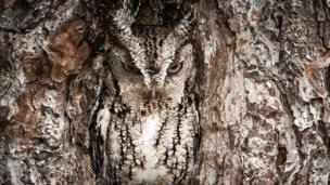"""""""Portrait of an Eastern Screech Owl"""""""
