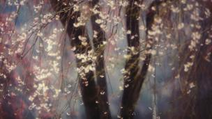 A picture of cherry blossom in Japan.