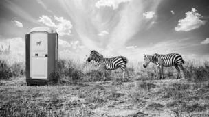 Two zebra queuing up for the toilets