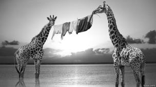 Giraffes with a washing line