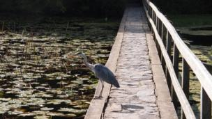 A heron at Bosherston lily ponds, Stackpole, Pembrokeshire