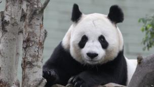 Tian Tian the giant panda.