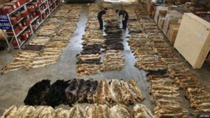 Customs officers check wolf skins at the Customs Inspection Centre at the Beijing Capital International Airport