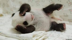 baby panda cub