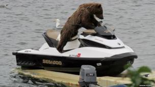 Bear on a jet ski