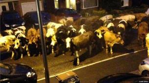 Cows in a street. Photo: Clare Small