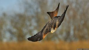 Red kite diving / Andy Rouse / 2020VISION