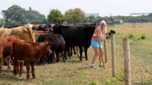 Mavis Drayton and some cows