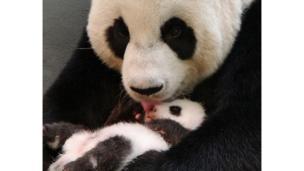 Giant panda Yuan Yuan licking her baby at the zoo in Taipei.