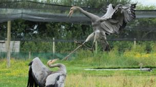 A pair of Eurasian cranes sparring as they are prepared for the wild at Crane school