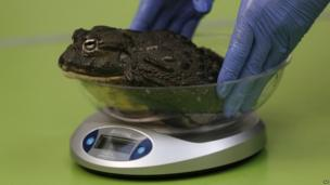 A zoo keeper places a giant African bull frog on a scale during the annual weigh-in at London Zoo