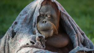 An orangutan covers itself with a blanket during winter time at Rio de Janeiro Zoo in Brazil on 22 August, 2013.