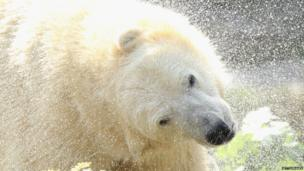 Two-year-old polar bear Wolodja shakes water from his fur after swimming in his enclosure at Tiergarten Berlin zoo on 23 August 23, 2013 in Berlin, Germany.