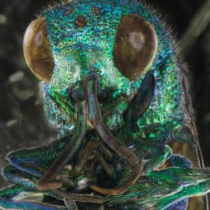 Cuckoo wasp on a windscreen by Daniel Kariko