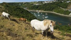 Wild ponies at Solva, Pembrokeshire.
