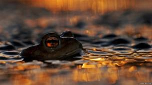 Toads in water as sun sets