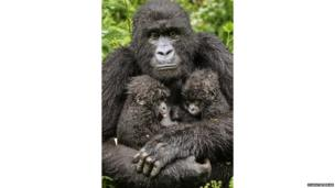 Mother gorilla with six month old twins