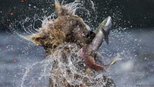 A brown bear eating a salmon in Russia