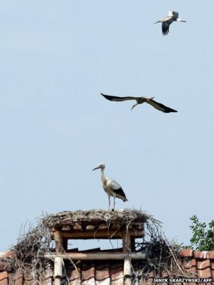 Storks in Polish village of Zywkowo