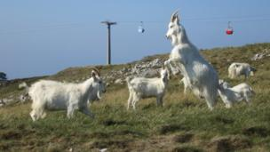 Goats fighting on Orme