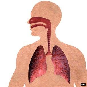 The respiratory system featuring the lungs