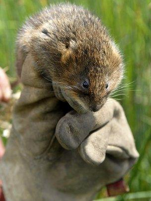 2b75fed180d Image caption Water voles are doing well in some areas