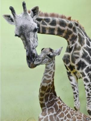 Giraffe and its baby
