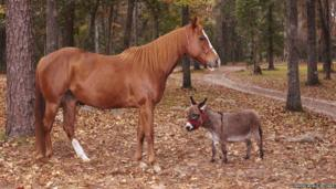 A tiny donkey next to a horse