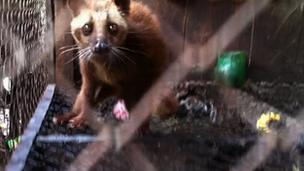 Injured civet cat