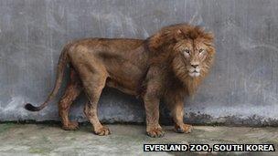 SunDol, African lion at Everland Zoo, South Korea