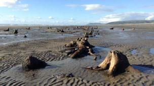 Remains of the ancient carboniferous forest at Ynyslas and Borth beach, Ceredigion