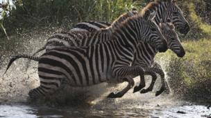 Zebras splashing through water, Nairobi National Park, Kenya - Sunday 15 September 2013
