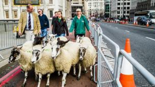Several sheep being driven across London Bridge. Photo: Andrew T-D Lim