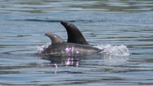 Risso's dolphin calf, Isle of Man