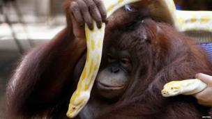 A orangutan plays with a pair of albino Burmese Python as the Malabon Zoo celebrates World Animal Day