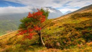 Rowan tree in Snowdonia